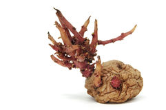Картошка пускать ростии Стоковое Изображение RF