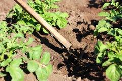 картошка сапки кроватей Стоковое Фото