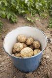 картошка хлебоуборки Стоковые Фото