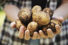 картошка хлебоуборки Стоковые Изображения