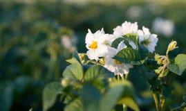 картошка цветений Стоковые Изображения