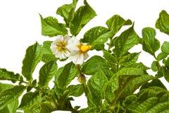 Картошка цветка Стоковое Изображение RF