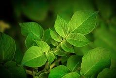 картошка 02 листьев новая Стоковые Изображения