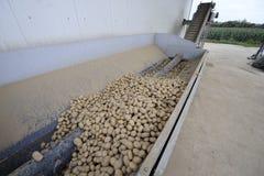 Картошка стоковые изображения