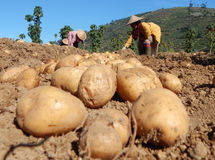 Картошка Стоковая Фотография RF