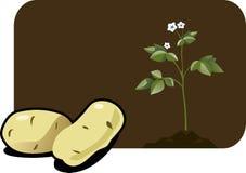 картошка Стоковые Фотографии RF
