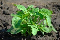 картошка bush стоковое изображение rf