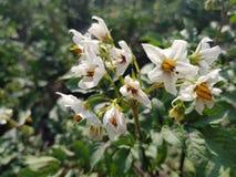 Картошка bushes цветене Стоковое Изображение RF