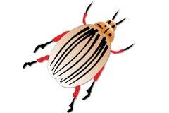 картошка colorado жука Стоковое фото RF