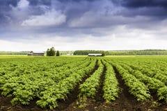 Картошка Fields навсегда стоковая фотография
