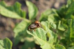 картошка leptinotarsa decemlineata colorado жука Стоковые Изображения RF