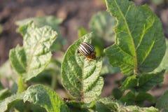 картошка leptinotarsa decemlineata colorado жука Стоковые Фото