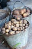 Картошки в 2 корзинах после сбора Свежие сырые картошки Стоковые Изображения RF