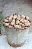Картошки в корзине после сбора Свежие сырые картошки Стоковые Фотографии RF