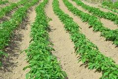 Картошки засаженные в земле с зелеными верхними частями стоковые фотографии rf