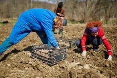 Картошки засева семьи Стоковое Фото