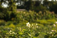 Картошки зацветая в огороде стоковое изображение rf