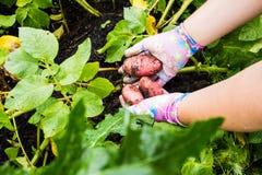 Картошки, который выросли в его саде Фермер держа овощи в их руках Питание стоковые фотографии rf