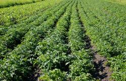 картошки поля Стоковая Фотография RF