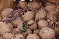 Картошки пускать ростии Стоковое Фото