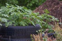 Картошки растя в кроватях автошины Стоковое Изображение RF