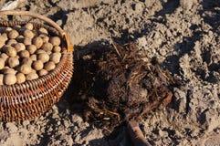 Картошки семени в деревянных корзине и поземе Стоковое Изображение