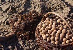 Картошки семени в деревянных корзине и поземе Стоковые Изображения RF