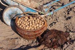 Картошки семени в деревянных корзине и поземе Стоковое Фото