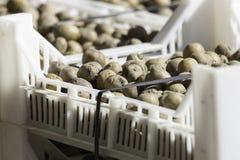 Картошки семени в пластичной клети Стоковые Фотографии RF