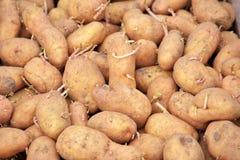 Картошки семени пускать ростии готовые для засаживать предпосылку Стоковые Фотографии RF