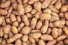 Картошки семени пускать ростии готовые для засаживать предпосылку Стоковая Фотография