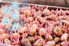 Картошки семени с ростками после обрабатывать от жука Колорадо Подготовка для засаживать картошки Сезонные работы стоковые изображения