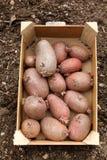 Картошки семени Стоковые Фотографии RF
