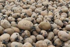 Картошки семени. Стоковое Фото