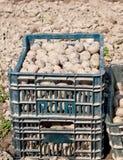 Картошки семени Стоковое фото RF