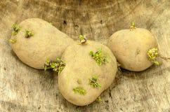 Картошки семени Стоковая Фотография RF