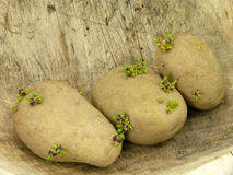 Картошки семени Стоковая Фотография