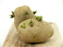 Картошки семени Стоковое Изображение