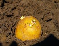 Картошки семени Стоковые Изображения RF