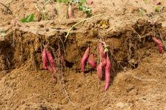 картошки сладостные Характеристики роста и созревания стоковое изображение rf