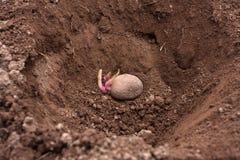 Картошки с ростками в отверстии Стоковое фото RF
