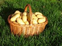 картошки урожая свежие Стоковое Фото