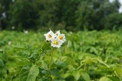 Картошки цветка Стоковые Изображения