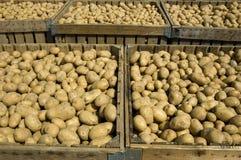 картошки ящиков польностью большие Стоковое Изображение RF