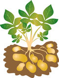 картошки бесплатная иллюстрация