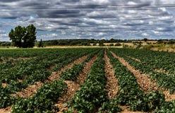Картошки i стоят вне стоковые фотографии rf