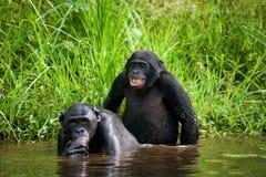 2 карликового шимпанзе делают влюбленность друг с другом демократическая республика Конго Национальный парк КАРЛИКОВОГО ШИМПАНЗЕ  Стоковое фото RF
