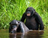 2 карликового шимпанзе делают влюбленность друг с другом демократическая республика Конго Национальный парк КАРЛИКОВОГО ШИМПАНЗЕ  Стоковые Фото