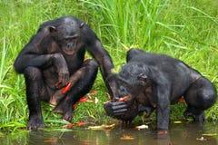 2 карликового шимпанзе получают еду из воды демократическая республика Конго Национальный парк КАРЛИКОВОГО ШИМПАНЗЕ Lola Ya Стоковые Фото