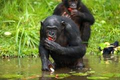 2 карликового шимпанзе получают еду из воды демократическая республика Конго Национальный парк КАРЛИКОВОГО ШИМПАНЗЕ Lola Ya Стоковая Фотография